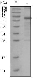 MSH6 Antibody (MA5-15392) in Western Blot