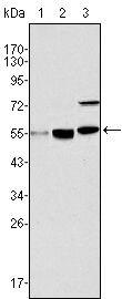 MYST1 Antibody (MA5-15345) in Western Blot