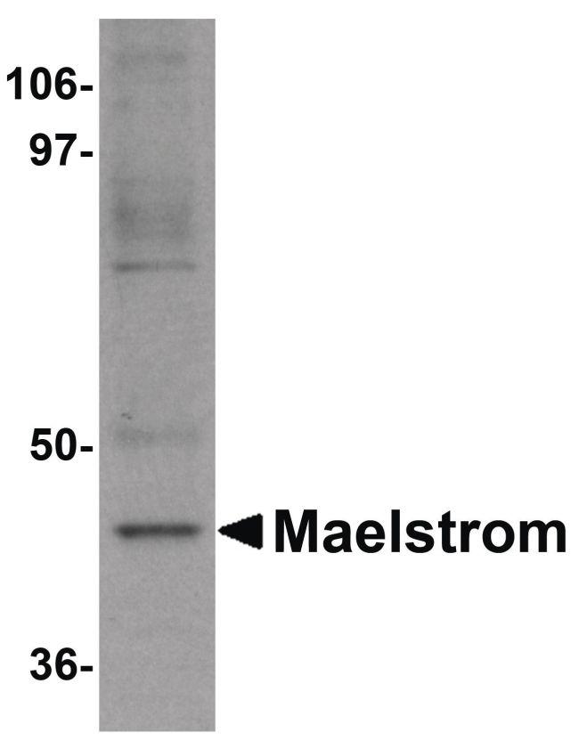 MAEL Antibody (PA5-20923) in Western Blot