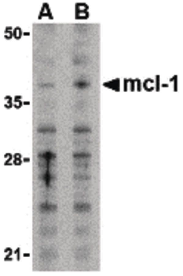 MCL1 Antibody (PA5-20121) in Western Blot