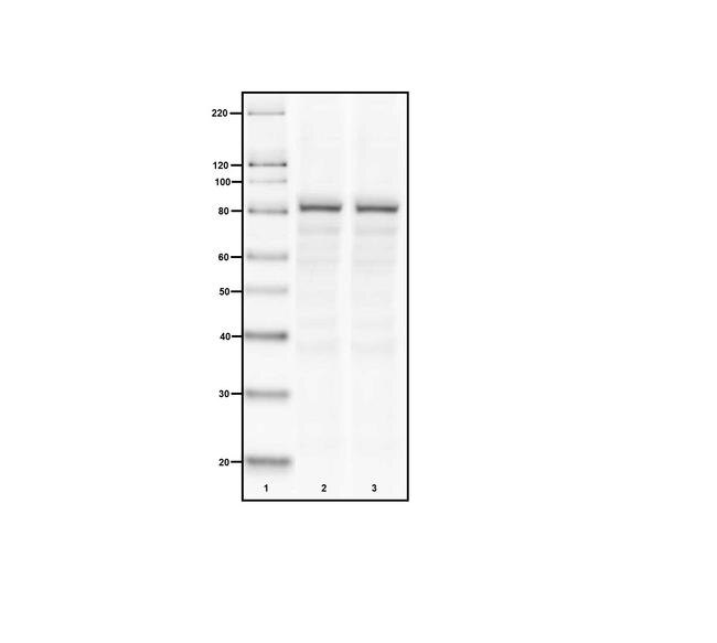 Mu-Calpain Antibody (MA3-940) in Western Blot