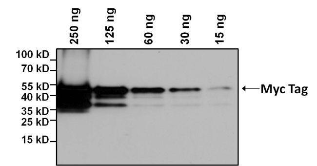 c-Myc Tag Antibody (MA1-21316-BTIN)