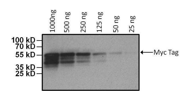 c-Myc Tag Antibody (MA1-21316-HRP) in Western Blot