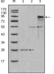 Myeloperoxidase Antibody (MA5-15480) in Western Blot