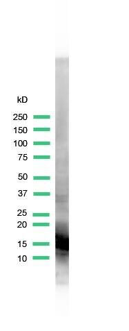 Myoglobin Antibody (PA5-32513) in Western Blot
