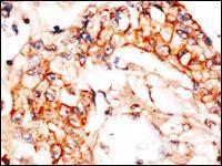 NAE1 Antibody (PA5-14138)