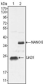 Nanog Antibody (MA5-15469) in Western Blot