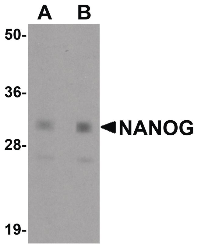 Nanog Antibody (PA5-20889) in Western Blot
