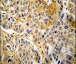 p47phox Antibody (PA5-25776) in Immunohistochemistry