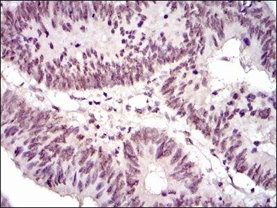 NCK1 Antibody (MA5-17132)