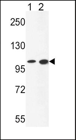 NCOA7 Antibody (PA5-26543) in Western Blot