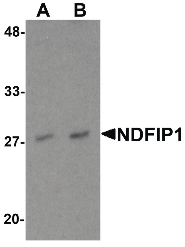 NDFIP1 Antibody (PA5-34421) in Western Blot