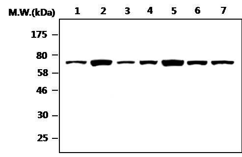 NF2 Antibody (MA5-17252)