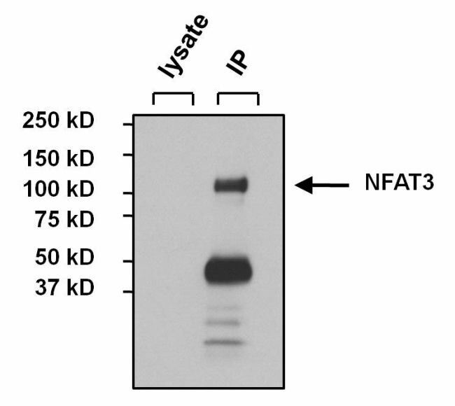 NFATC4 Antibody (PA1-021) in Immunoprecipitation
