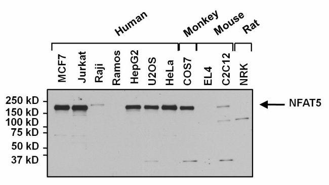NFAT5 Antibody (PA1-023) in Western Blot