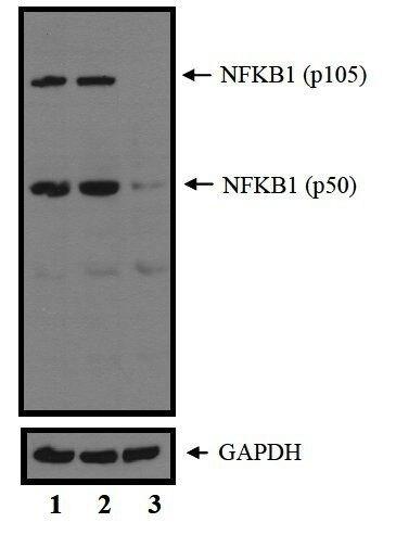 NFkB p50 Antibody (PA5-17654) in Western Blot
