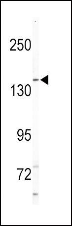 HGK Antibody (PA5-15225)