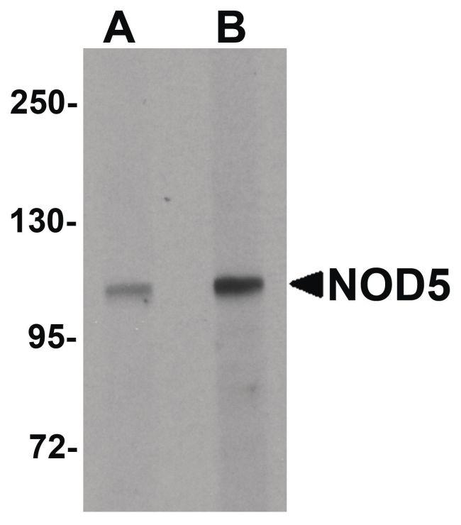 NLRX1 Antibody (PA5-21018) in Western Blot