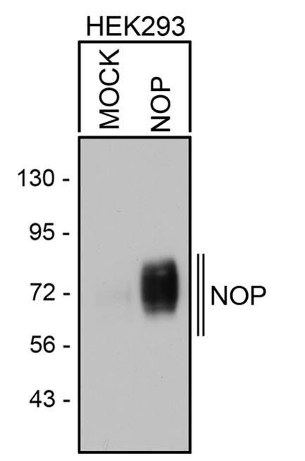 OPRL1 Antibody (PA3-029) in Western Blot