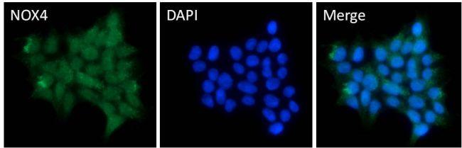 NOX4 Antibody (PA1-46014) in Immunofluorescence