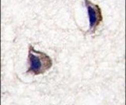 NPTX1 Antibody (PA5-14137) in Immunohistochemistry