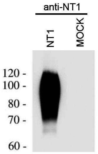 NTSR1 Antibody (PA3-214)