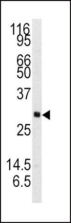NTF3 Antibody (PA5-14861)