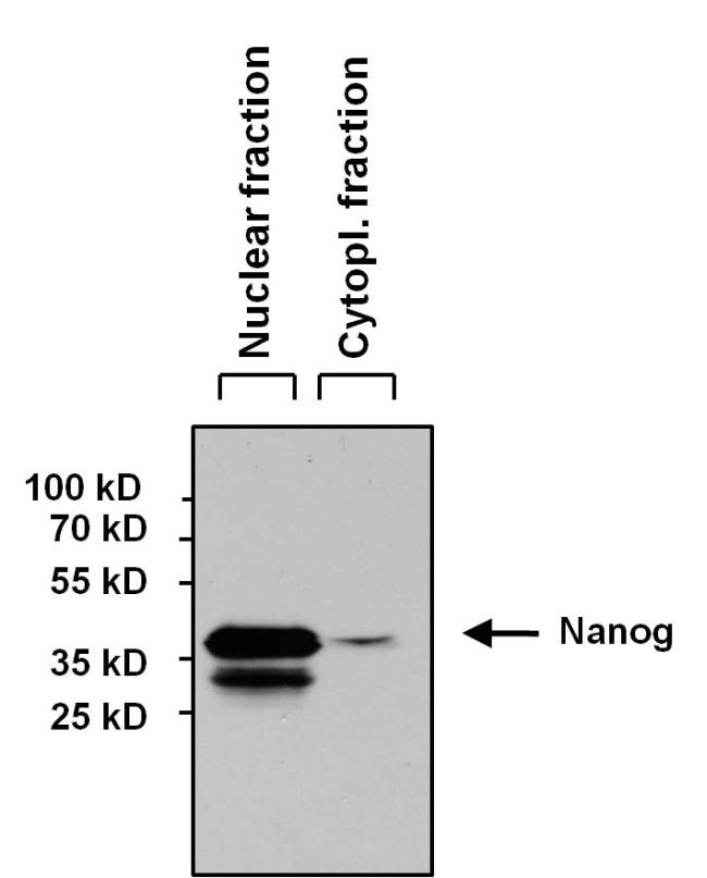 Nanog Antibody (MA1-017) in Western Blot