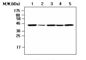 NCK2 Antibody (MA5-17238) in Western Blot