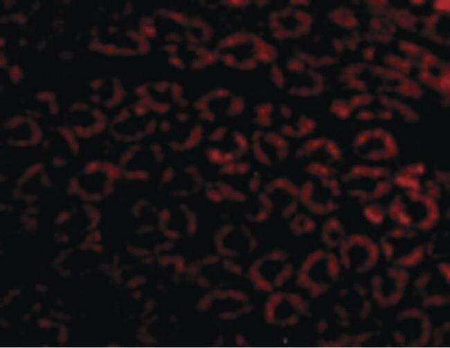 Nephrin Antibody (PA5-20330) in Immunofluorescence