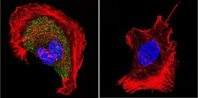 CHRNA1 Antibody (MA3-043) in Immunofluorescence