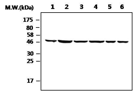 ENO1 Antibody (MA5-17262)