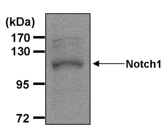 NOTCH1 Antibody (MA1-81888) in Western Blot