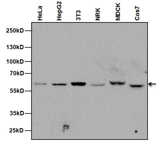NUP62 Antibody (MA1-073) in Western Blot