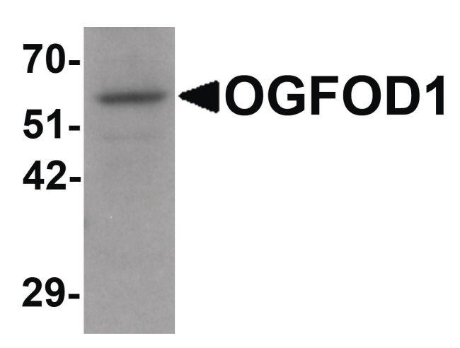 OGFOD1 Antibody (PA5-21100) in Western Blot