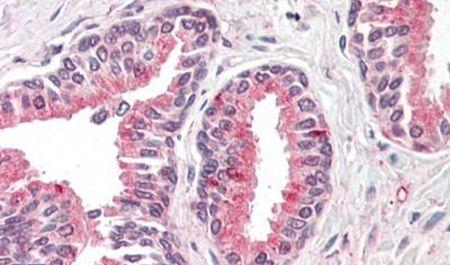 OLFM4 Antibody (PA5-32954)