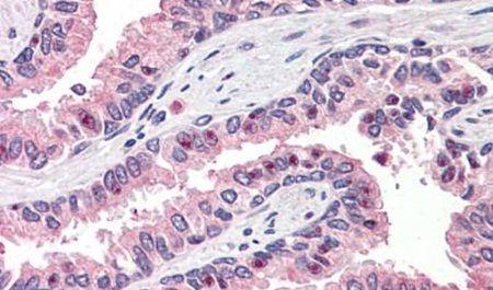 OLFM4 Antibody (PA5-32955)