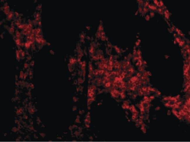 HTRA2 Antibody (PA5-20064) in Immunofluorescence