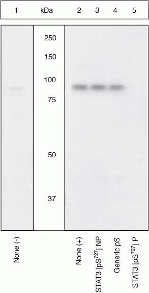 Phospho-STAT3 (Ser727) Antibody (OPA1-03007)