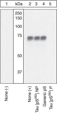 Phospho-Tau (Ser262) Antibody (OPA1-03142) in Western Blot