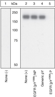Phospho-EGFR (Tyr1068) Antibody (OPA1-03170) in Western Blot