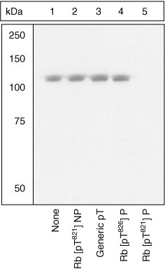 Phospho-Rb (Thr821) Antibody (OPA1-03898)