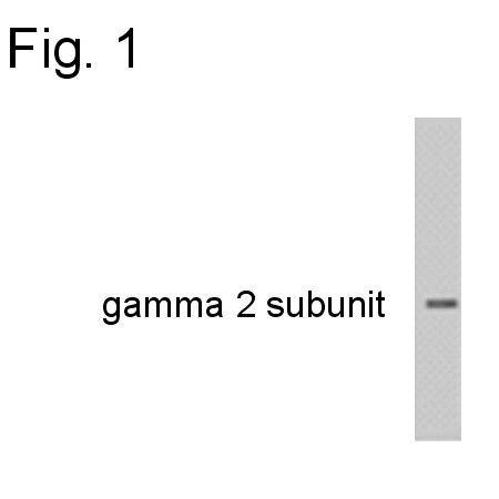 GABRG2 Antibody (OPA1-04111)