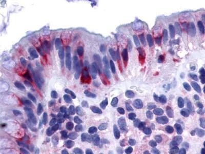 GPR120 Antibody (OPA1-15201) in Immunohistochemistry