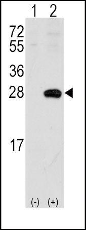 OPRS1 Antibody (PA5-12326)