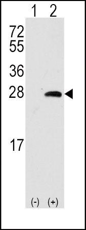 OPRS1 Antibody (PA5-12327)