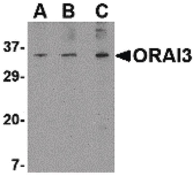 ORAI3 Antibody (PA5-20370) in Western Blot