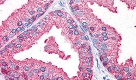 OSTC Antibody (PA5-32958)