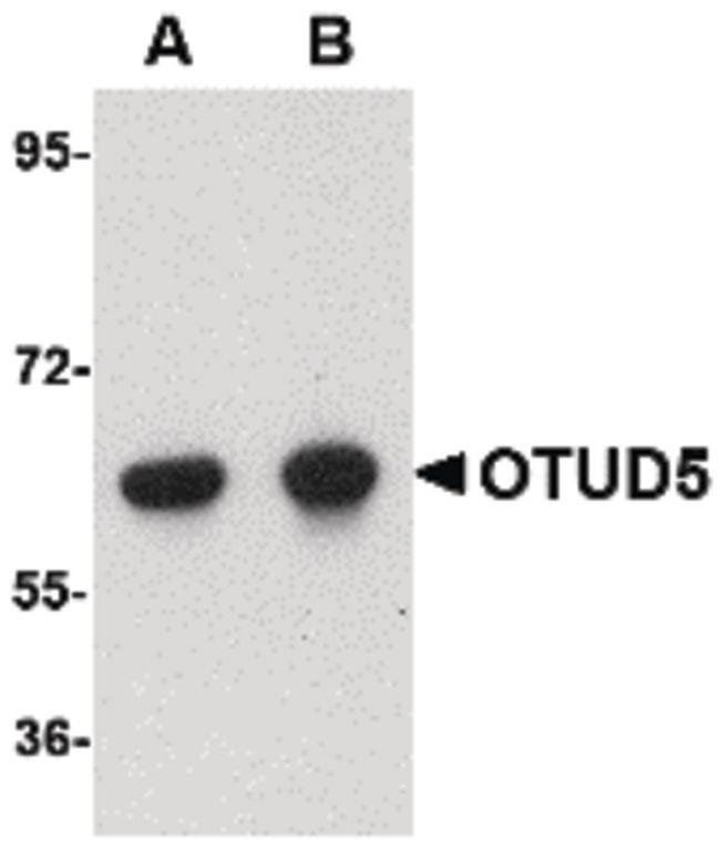 OTUD5 Antibody (PA5-20611) in Western Blot