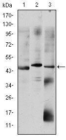 OTX2 Antibody (MA5-15854) in Western Blot